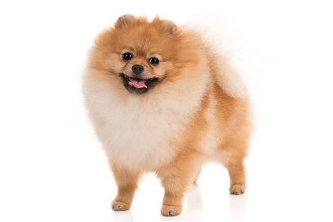 Pomeranian-On-White-01