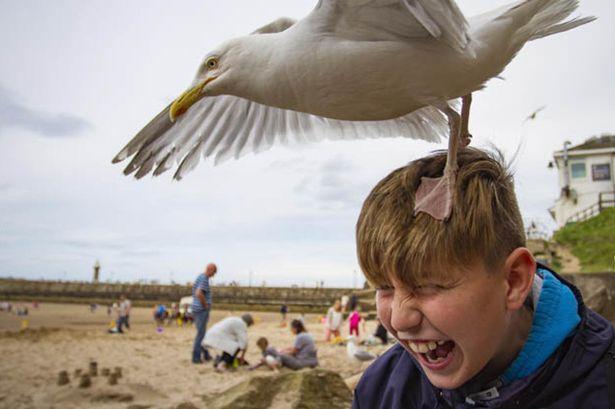 2_Brexit-agressive-seagulls-attack-586835